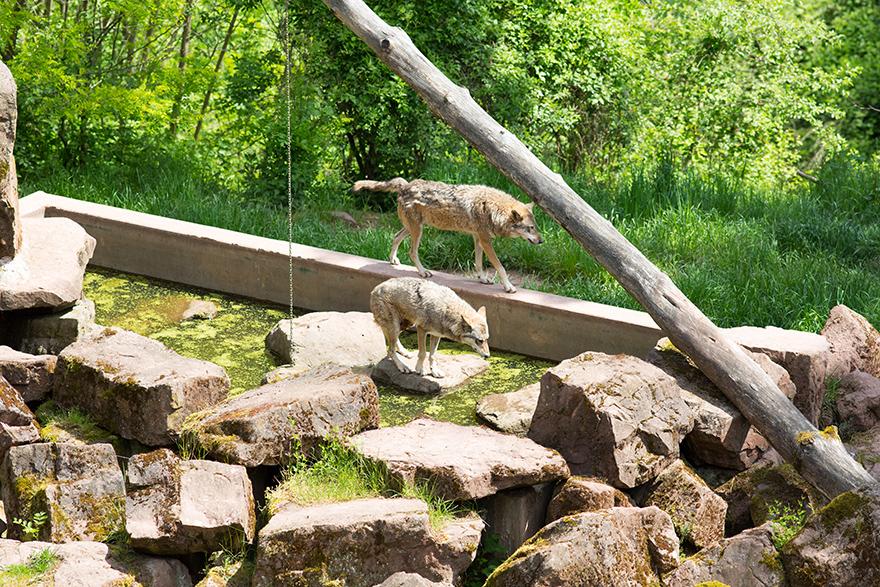 Tal der Wölfe - Eifelpark