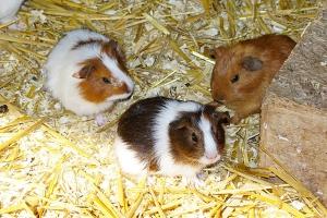 tierhaus-eifelpark-meerschweinchen