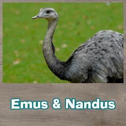 Emus und Nandus