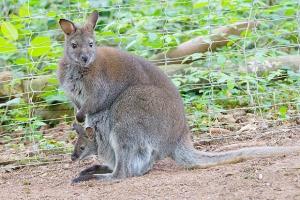 wallaby-kaengurus-eifelpark