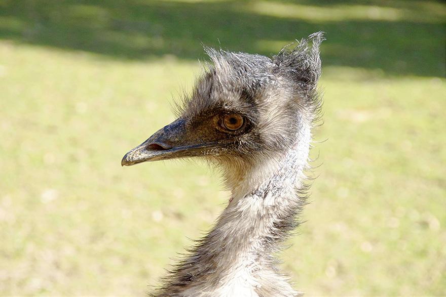 Emus & Rheas
