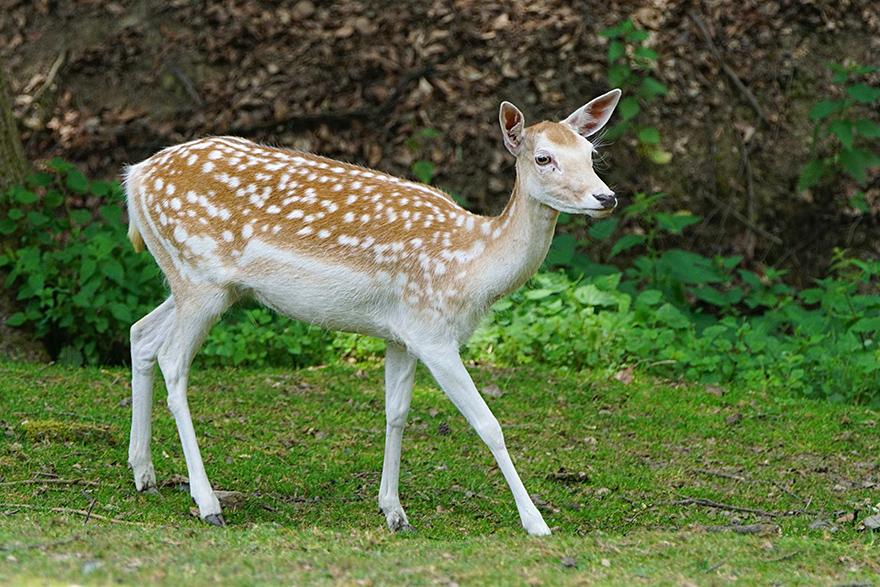 Sika & Fallow Deer