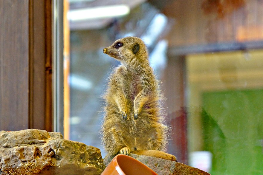 Erdmännchen Tierpark Eifel Park