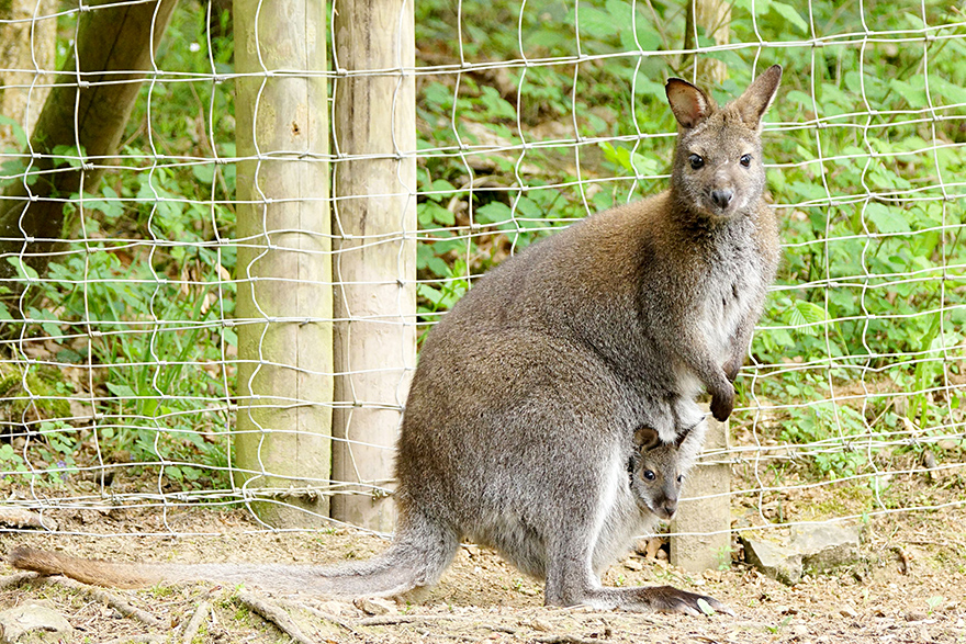 Wallaby Kängurus Eifelpark