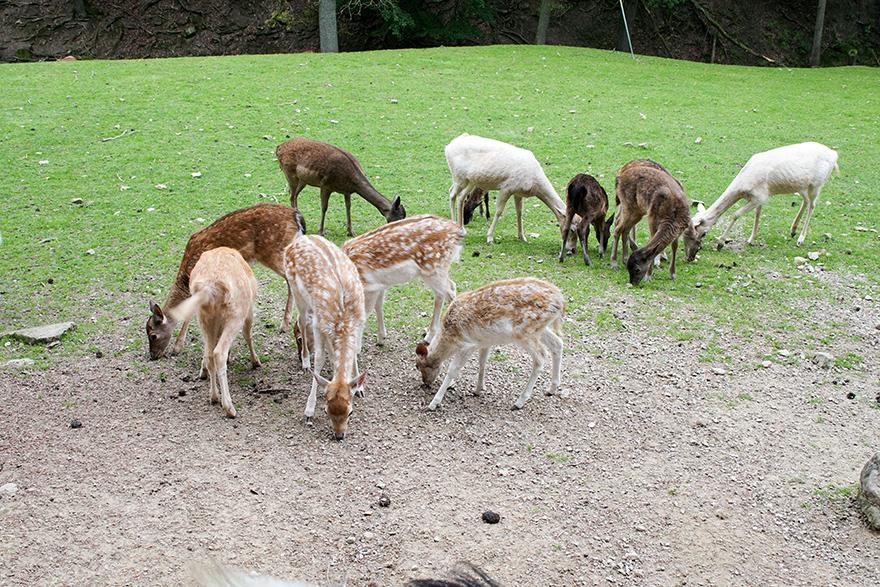 Sika und Damwild im Eifelpark Gondorf
