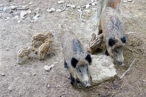 Wildschweine Eifelpark