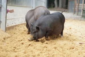 eifel-bauernhof-eifelpark-haengebauchschweine